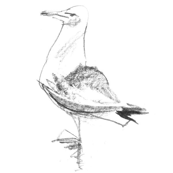gulls1_sq
